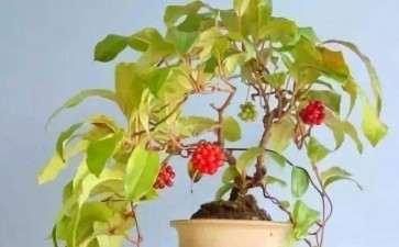 五味子盆栽怎么病虫害防治的方法