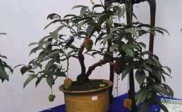 五味子盆栽怎么造景的方法