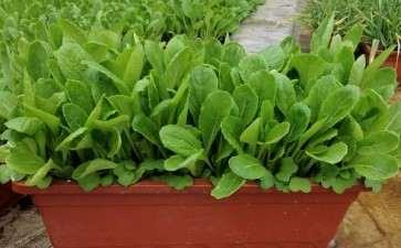 常见的盆栽蔬菜类型有哪些
