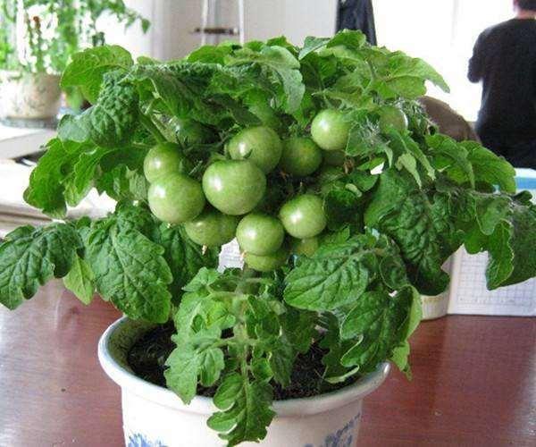 盆栽蔬菜有哪4个技术要点