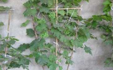 盆栽葡萄怎么栽培管理的4个方法