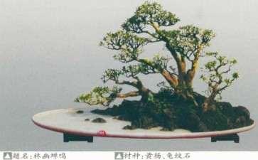黄杨盆景怎么养护造型的方法 图片