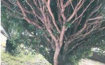 黄杨盆景怎么制作与养护 图片