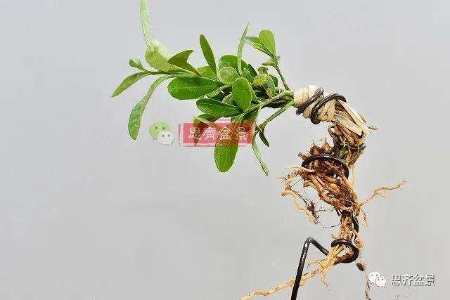 金豆盆景小苗怎么合植拼栽的方法