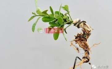 图解 金豆盆景小苗怎么合植拼栽的方法