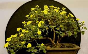 菊花两段根怎么盆栽的5个技术