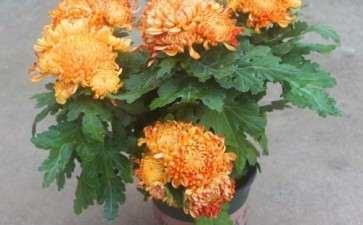 菊花两段根盆栽怎么肥料管理的3个方法