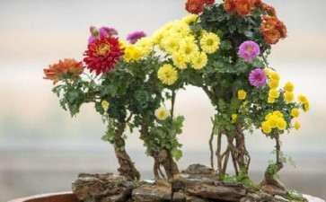 菊花盆栽怎么植株管理的6个方法
