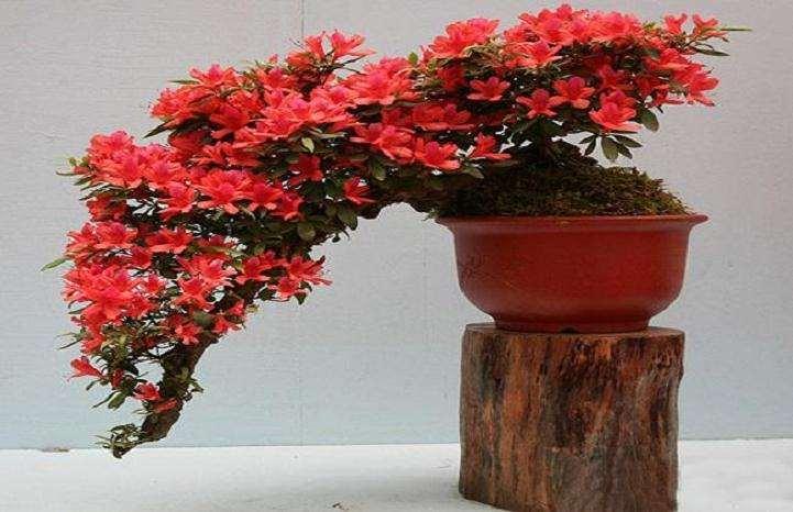 肥料种类怎么影响盆栽杜鹃花的生长