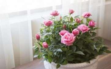 盆径10厘米的迷你玫瑰出货价8~10元