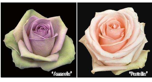 情人节的玫瑰损失并不是很大
