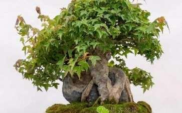 图解 三角枫盆景怎么摘叶的方法