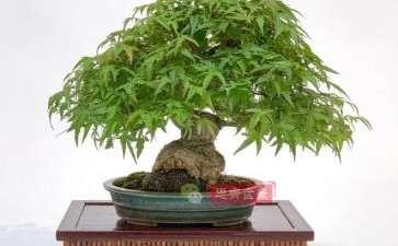 图解 日本红枫盆景养了120年
