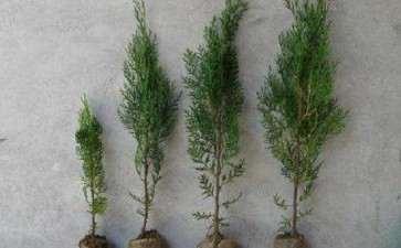 日本扁柏盆景扦插苗规格有哪4种