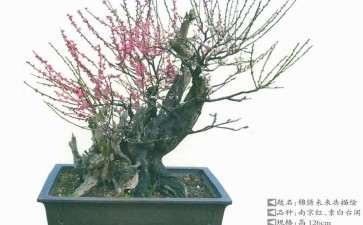 梅花盆景怎么换盆与换土的3个方法