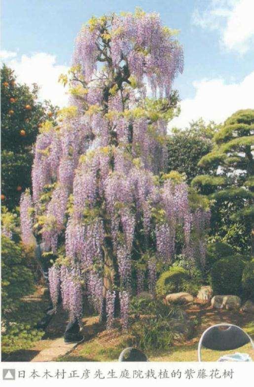为什么紫藤作为盆景材料也是备受喜爱