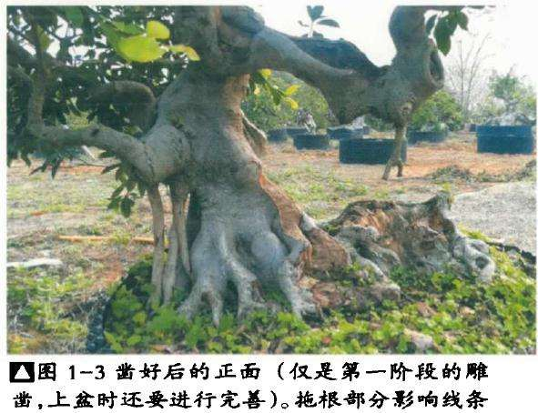 榕树盆景怎么处理根部