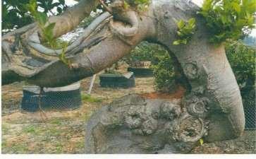 图解 榕树盆景树身怎么雕琢的2个方法