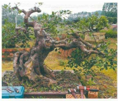 榕树盆景结合线条怎么改造的立体雕凿