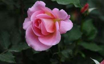 月季花怎么使用氯虫苯甲酞胺的5个方法