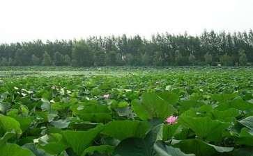 适合与荷花配植的陆生植物有哪些