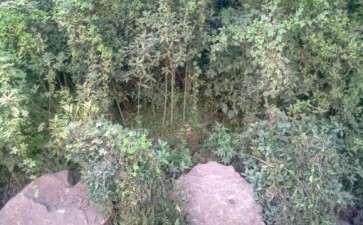 季节桂花树去头挖下山桩能养活吗