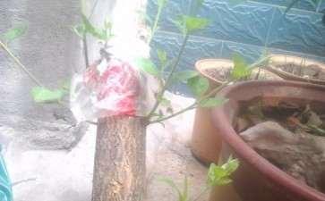 桂花下山桩发芽了 什么时候能靠接