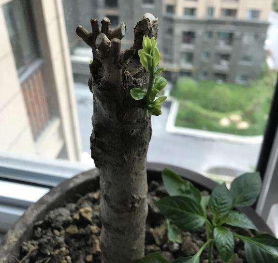 桂花下山桩的嫁接枝发芽 还是桩发芽