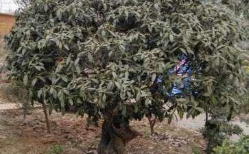 百年桂花下山桩树桩 5万 9万 估个价格