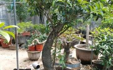 內径72厘米丹桂花下山桩盆栽 图片