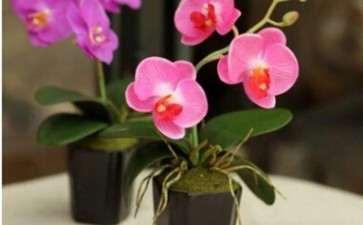 蝴蝶兰怎么栽培管理的3个方法