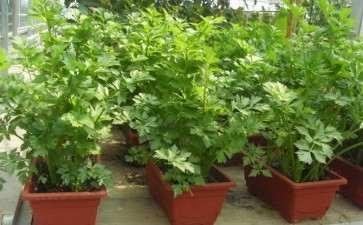 北方阳台盆栽蔬菜基质怎么选择的方法