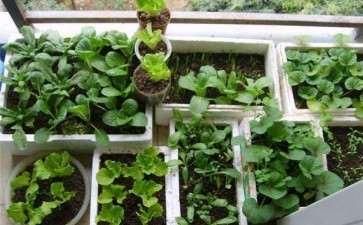 阳台盆栽蔬菜怎么病虫害防治的方法