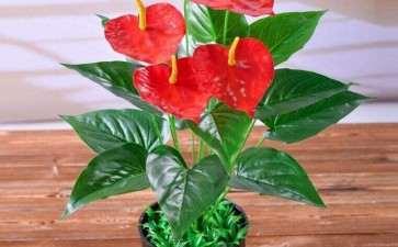 日光温室盆栽红掌蓟马的3个发生规律