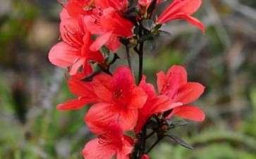杜鹃红山茶花粉怎么采集与保存