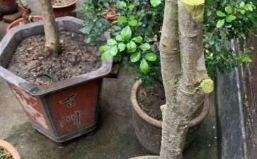 桂花下山桩叶子长起来了 怎么样 图片