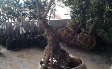 青州大集随拍的桂花下山桩熟桩