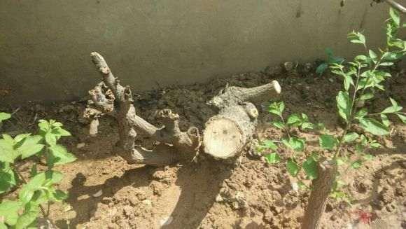 流苏下山桩用河沙和椰土混合埋 可以吗