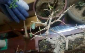 福建茶下山桩怎么了 叶子掉光 图片