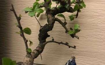 福建茶下山桩是不是生病了 掉叶子