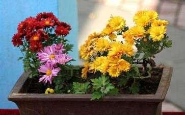 菊花盆栽怎么浇水施肥的3个方法