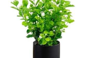 茉莉花盆栽怎么病虫害防治的3个方法
