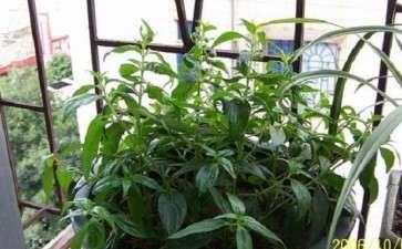 中草药盆栽的实用和美观价值备受关注