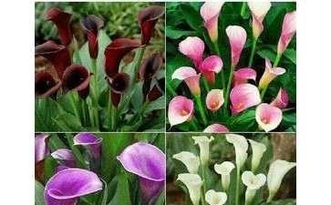 为什么察哈尔是盆栽花卉的原产地