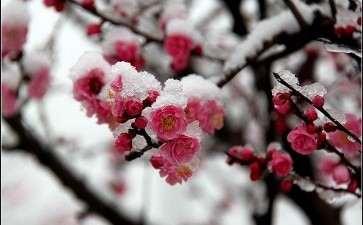 宁夏红梅杏设施盆栽促早栽培技术