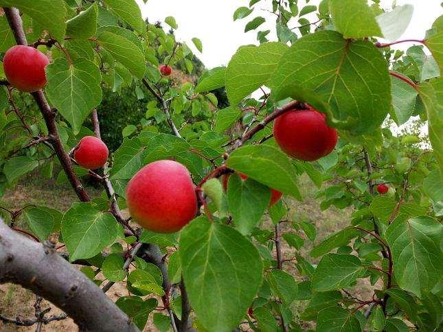 盆栽红梅杏环境怎么调控的2个技术