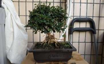 福建茶盆景是否能长时间养在室内