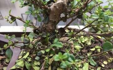 福建茶盆景两天浇水一次 还是掉叶子