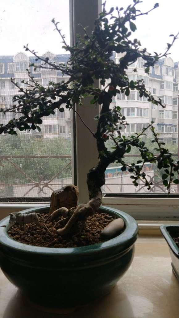 福建茶下山桩可以高压繁殖吗