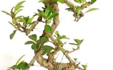懒人怎么用花盆养福建茶盆景的方法